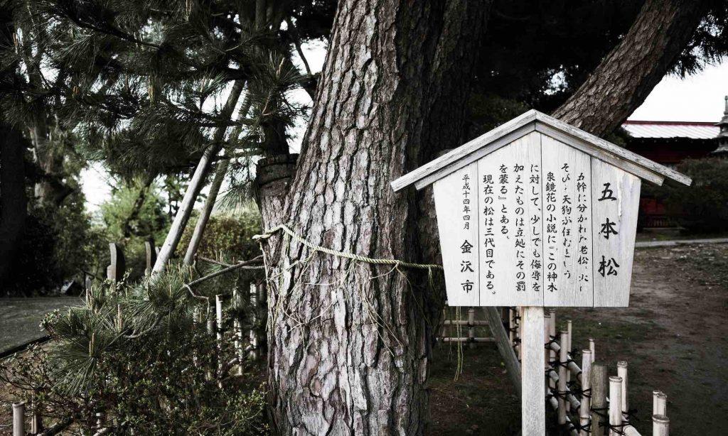 金沢宝泉寺の御神木「五本松」