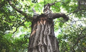クリの木の墓