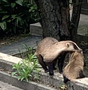 境内にやってくる動物たち(3)アナグマ親子のレスキュー隊