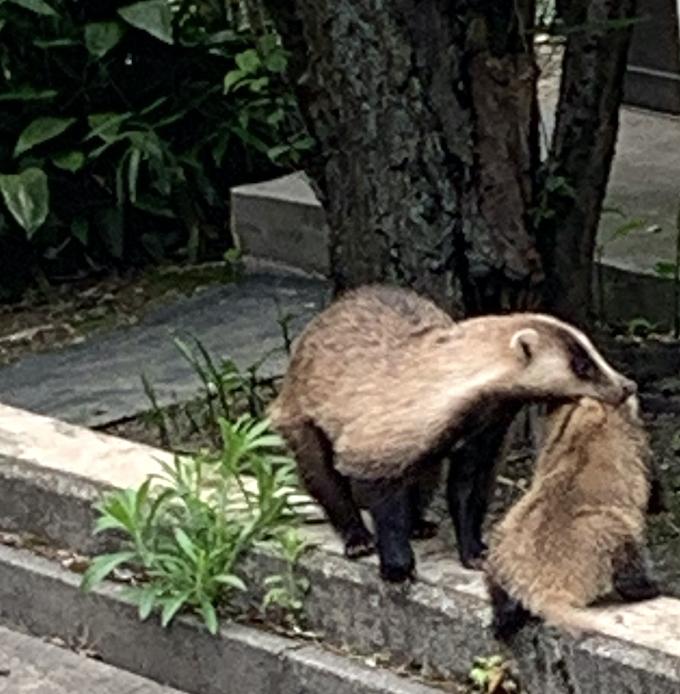 アナグマの親子|金沢宝泉寺(2020年6月6日)